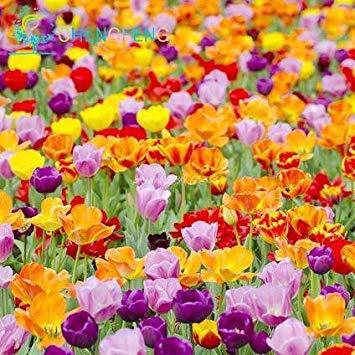 VISTARIC Deep Blue: Neue Ankunft 100 Samen Islandmohn Papaver Mischfarben nudicaule Cut Blumensamen Bonsai Pflanze DIY Hausgarten
