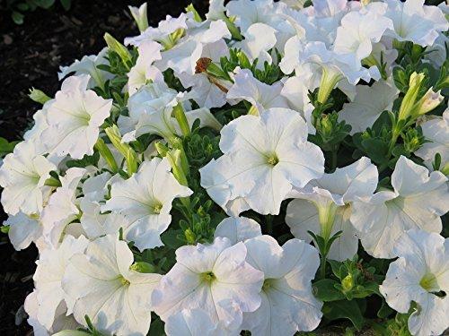 Weiße, großblumige Petunie - 80 samen