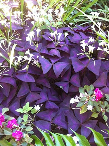 Elwyn 1 Purple Shamrock Plant Seeds
