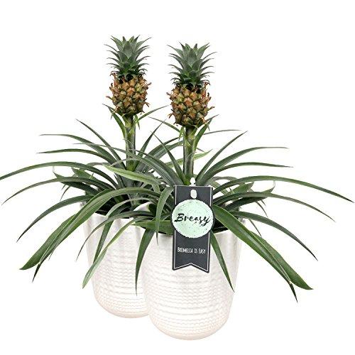 Bromelia Pianta Ananas in vaso 2 pezzi - Altezza 40 cm - Diametro vaso 12 cm