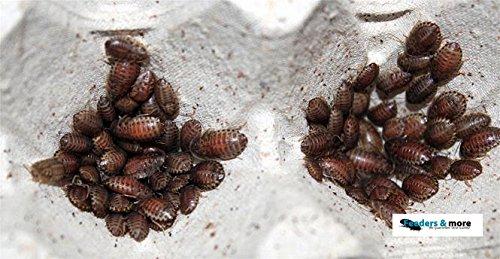 100 kleine Waldschaben, Schaben in 1 Dose praktisch verpackt, Futterinsekten Futtertiere