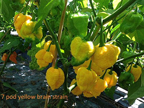 GRAINES DE PIMENT-7 POD YELLOW BRAIN STRAIN
