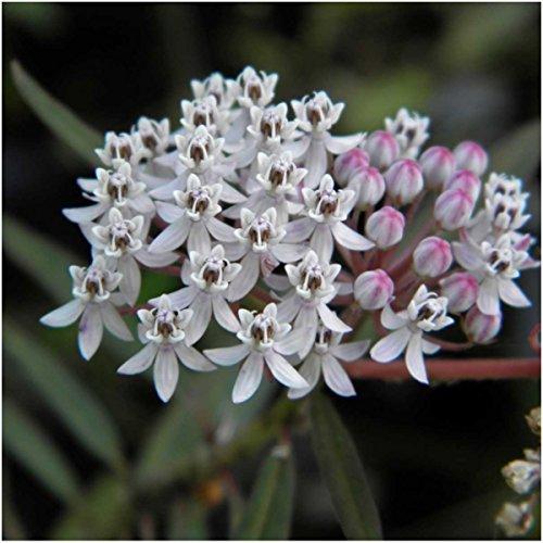种子需求,沼泽乳草种子包二重奏(Asclepias Incarnata)开放授粉种子