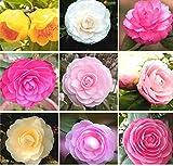 9 tipi di bellissimi semi di fiori 100 pezzi di semi di camelia semi di albero di camelia facile da coltivare piante bonsai per giardino domestico