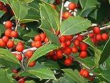 """20 terciopelo rojo americano acebo semillas - Ilex opaca""""terciopelo rojo"""""""