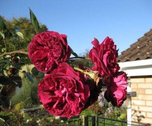 5 Bordeaux d'escalade Rose rouge Rosa Bush Vigne grimpante parfumée Fleurs Graines