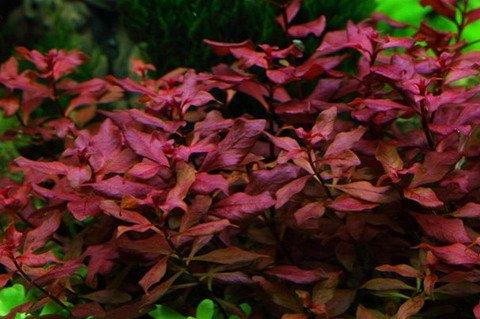 WFW wasserflora Kleine Weinrote Ludwigie/Ludwigia sp. Super Red - Super Rot