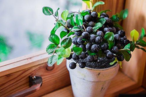 RWS arándano enano 'sombrero de copa' 15 semillas - grandes frutas dulces, en pequeña planta (arándano enano)