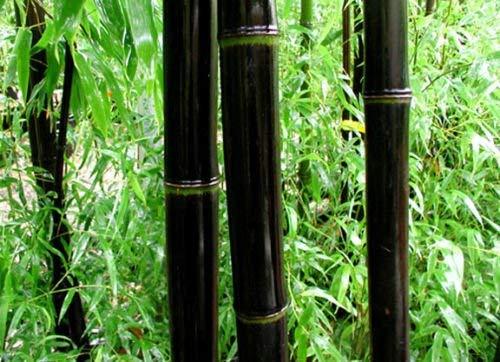 40 graines de graines bambou noir Phyllostachys Nigra