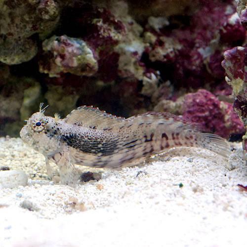 (海水魚)ヤエヤマギンポ(ブレニー) Sサイズ(1匹) 本州・四国限定[生体]