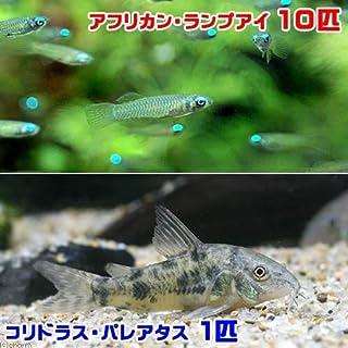 (熱帯魚)アフリカン・ランプアイ(10匹) + コリドラス・パレアタス(1匹) 北海道・九州・沖縄航空便要保温