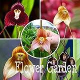 Graines d'orchidées pour le visage de singe 100 variétés de plantes de bonsaïs à variétés multiples pour la maison et les ampères; Jardinières Jardinières Belle, Rwlgbp