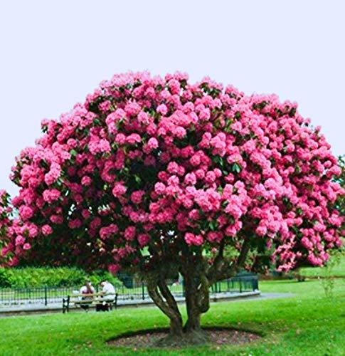 Beautytalk-Garten Riesen japanische Kirschblüten Sakura Blumen Samen Saatgut winterhart mehrjährig Blumen Baum Freiland-Blumen Saatgut Garten