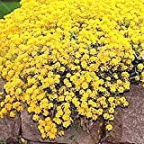 100pcs/bag Creeping Thyme Seeds or Blue Rock Cress Seeds Perennial Ground cover flower, Natural growth for home garden 6