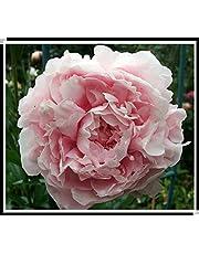15pcs / semillas de peonía. Paeonia suffruticosa 12 colores semillas de flores bonsai de interior para semillas de flores de peonía Inicio planta de jardín