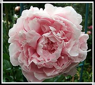 15pcs / semillas de peonía. Paeonia suffruticosa 12 colores semillas de flores bonsai de interior para semillas de flores ...
