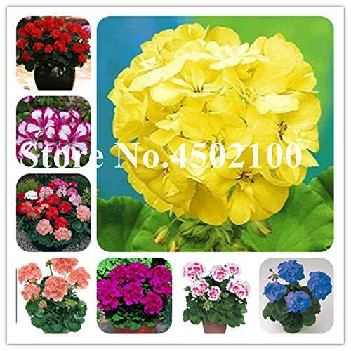 Bloom Green Co. Bonsai Geranium 100 Stück Japanischer Gelb Ppleblossom Rosebud Pelargonium blühende Geranien Balkon Seedssplant Für Hausgarten: gemischt