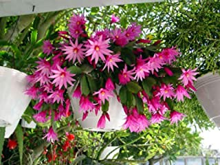 2 Rare Pink Easter/Spring Cactus Plant Rooted Cutting Epiphyllum Succulent Fresh Beautiful
