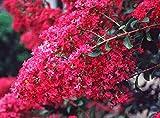 Tonto Crape Myrtle Tree - Live Plant Shipped 1 to 2 Feet Tall by DAS Farms (No California)