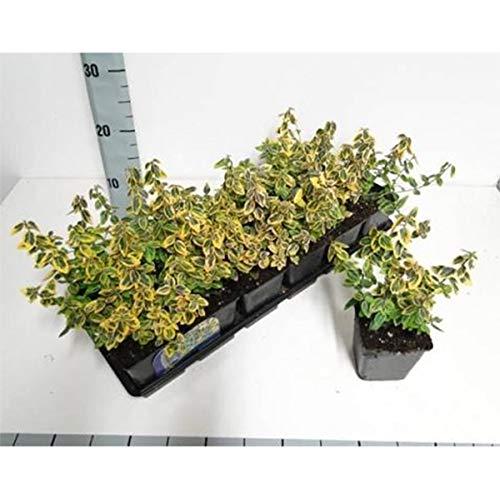 Bodendecker Euonymus fortunei 'Emerald Gaity' - Kletternder Spindelstrauch | im 9-cm-Topf | 12er-Set