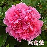 perenne Resistente Semillas,Flor de peonía en Maceta Planta de jardín multirramado-20 cápsulas_N,Planta Maceta Semillas