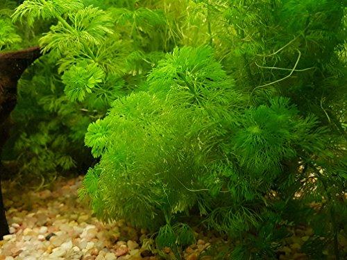 Riesige Ambulia – Limnophila Aquatica – 2 Strauß – lebende Aquariumpflanze