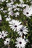 White Cape Daisy, semillas de margarita africana - Osteospermum ecklonis