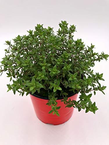 Thymian Pflanze, Thymus vulgaris Kräuter Pflanzen 2stk.