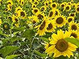 Lot de 20 graines de tournesol (Helianthus annus) bio non-OGM pour la maison Jardin Sunny Sun Flower Seeds Open Pollinated Seeds for Planting - Dwarf Sunflower