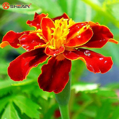 Feu rouge Maidenhair Marigold Seeds Indoor Bonsai Seed ornemental Flower 50 particules / lot