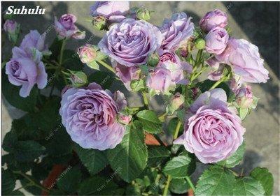 Mixed Seeds Rose, 200 Pcs Rare Bonsai Fleurs Rose, mélanger les couleurs Croissance naturelle Plante en pot pour le jardin Suppies Représentant Amour 8
