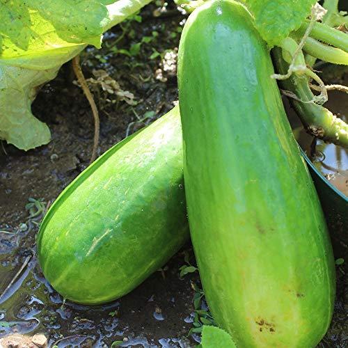 Samen für ca. 10 Pflanzen Iwa Gurke – zuverlässige Salatgurke, dünne Schale