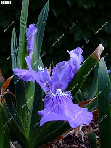 120pcs/sac exotiques plat Bamboo Orchid Graines Outdoor vivace Bonsai pot Orchidee Angiosperme pour décor de jardin