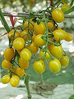 yellow jelly bean tomato