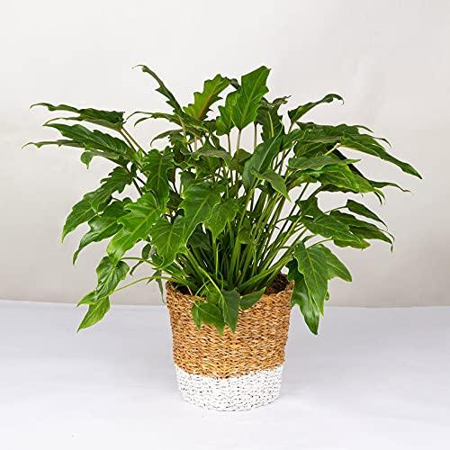 Pflanzen Kölle Baumfreund inkl. Korb weiß/Natur, Philodendron Xanadu, Gesamthöhe ca. 30-50 cm