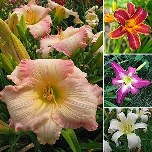 100 graines hybrides Mix hémérocalles Fleurs Couleur des semences hybrides Hémérocalles Graines hémérocalle # Graine 32727747914ST
