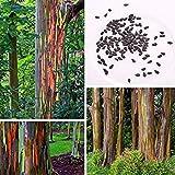 Potseed F5C4 50Pcs Regenbogen-Eukalyptus-Samen Baum Ehrfürchtig Gartendeko Woody Tropical TRE
