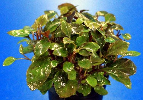 WFW wasserflora Zwerg-Kardinalslobelie/Lobelia cardinalis Mini NEU!