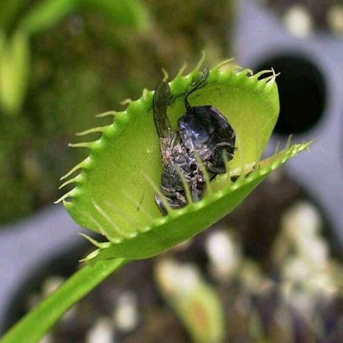 Singe orchidées visage semences 200 pcs variétés multiples Bonsai plantes Semences pour la maison et le jardin pots de fleurs jardinières Belle