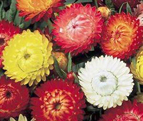 Nouveaux rares 100 Strawflower PAPIER DAISY Helichrysum Monstrosum Fleur Bulk Graines Livraison gratuite 49%