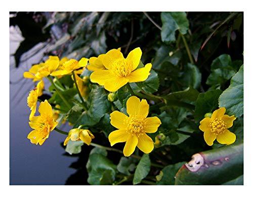 2 x Marginal Plants - Including a pot and compost - Live Water Plant Aquatic Pond Lake Marginal (Caltha palustris (King cup or Marsh marigold))