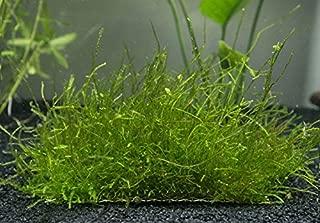 Aquatic Arts 3 Java Moss Mats (Taxiphyllum barbieri, Formerly Vesicularia dubyana) - 3 Mats at 3 x 1.6 inches - Live Aquatic Aquarium Plants