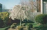 2 Weeping Cherry Tree - ( prunus x yeodensis shidare yoshino )
