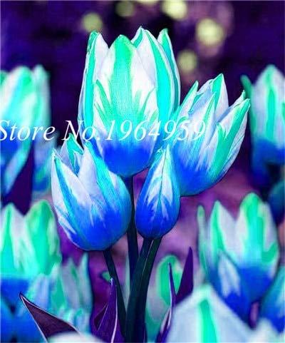 RETS Bonsai 100 PC/Beutel-hochwertiger Bonsai Mixed Tulip Regenbogen-Tulpe Bonsai Blumentopfpflanzen leuchten Ihr Personal Garten: 6
