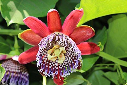 Riesengranadilla, Passionsblume 5 Samen - Passiflora quadrangularis