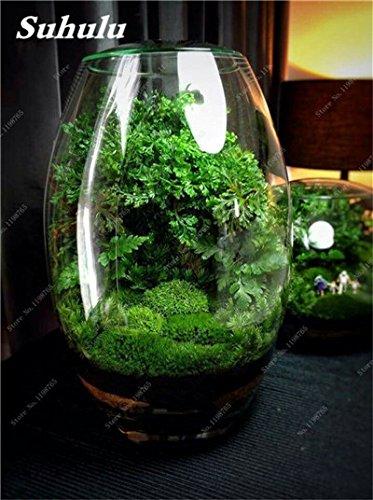 Vert mousse Graines 120 Pcs exotiques rares Graines Bonsai Moss Belle Moss Boule décorative Jardin créatif herbe Graines Plante en pot 8
