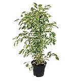 Ficus benjamini'Twighlight' im 17cm Topf