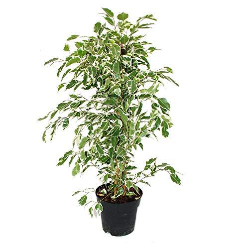 """Ficus benjamini""""Twighlight"""" im 17cm Topf"""