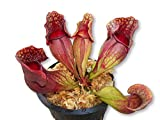 Carnivorous Purple Pitcher Plant (Sarracenia...