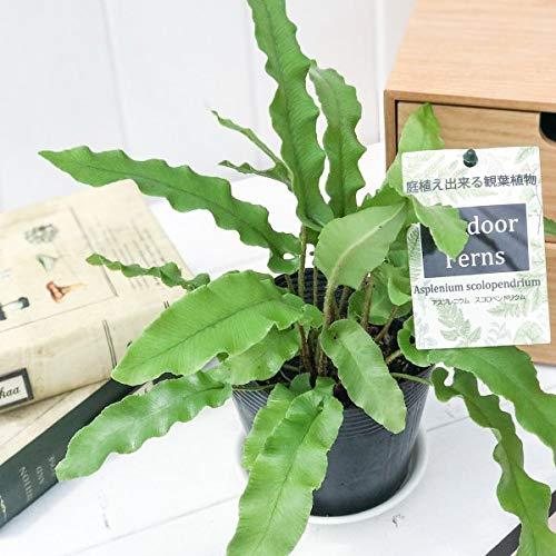 観葉植物 シダ アスプレニウム スコロペンドリウム(コタニワタリ) 3.5号ポット Asplenium scolopendrium